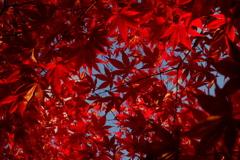 鮮烈な赤③