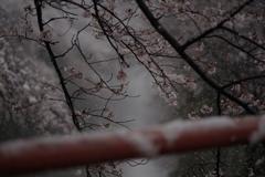 樱花与大雪