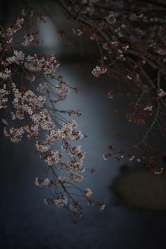 樱花  石神井川