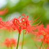 彼岸に咲く花〜ヒガンバナ5
