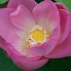 古代蓮の開花4