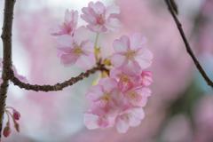 千葉公園の河津桜5