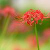 彼岸に咲く花〜ヒガンバナ6