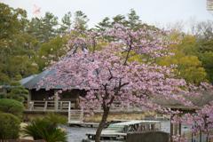 千葉公園の河津桜6