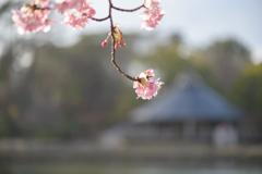 千葉公園の河津桜3