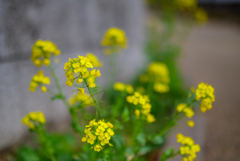 菜の花の咲く頃