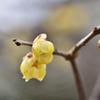 春への力6(蝋梅)