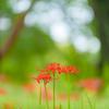 彼岸に咲く花〜ヒガンバナ1