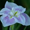 白紫の花菖蒲