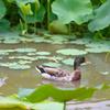 ハス池のカモ1