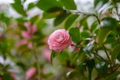 乙女椿は〇〇の花