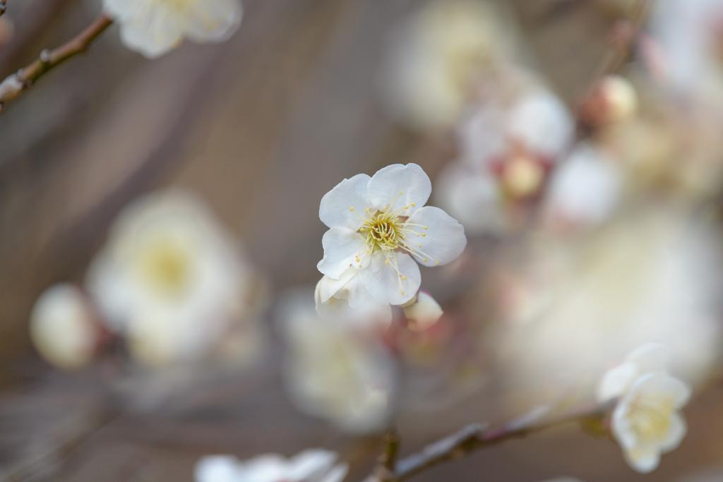 白梅の美2