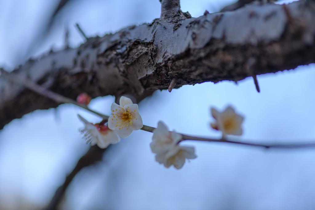 厳冬の日に春の声3
