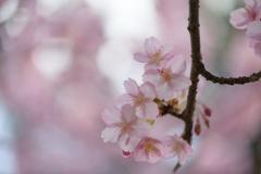 千葉公園の河津桜4