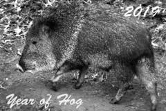Year of Hog 2019