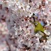 咲くジロー
