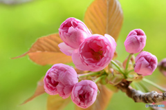 八重桜_2