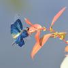蝶蜻蛉_1