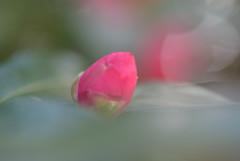 山茶花の蕾Ⅰ