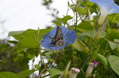 朝顔と揚羽蝶