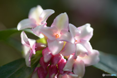 春の香Ⅵ-3