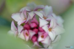 春の香Ⅵ-2