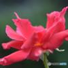 小さな薔薇Ⅱ