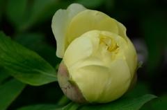 ハイヌーン 開花