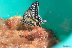 バケツの中の揚羽蝶