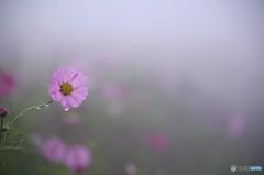 霧のコスモス2