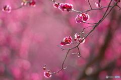 春の香り7