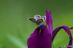 草原の蝶4