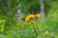 高原の蝶2