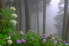 霧のあじさい4