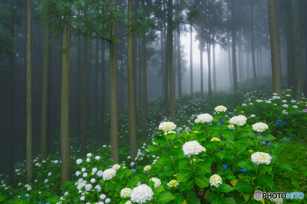 霧のあじさい6