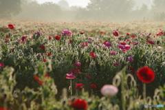 朝もやの花畑