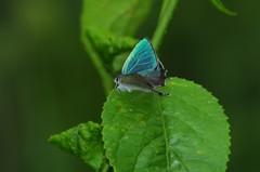 草原の蝶7