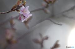 春の香り6