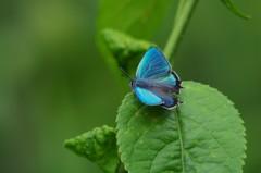 草原の蝶8