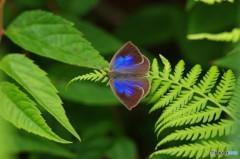 草原の蝶1