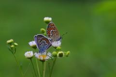 草原の蝶5