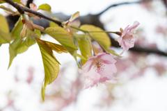 新潟の河津桜