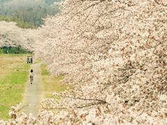 桜に飲まれる
