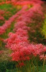 畦道に咲く彼岸花