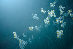 _narcissuses