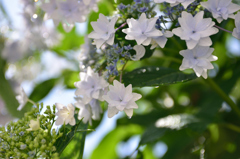 実家の紫陽花4