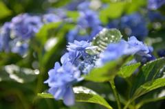 実家の紫陽花3