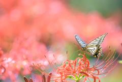 _swallowtail