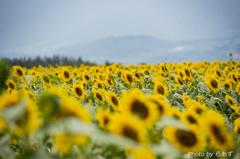 向日葵畑で