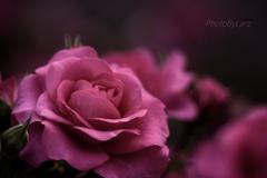 _roze:hybridtea